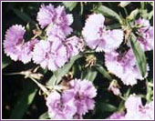 Dianthus (Pink) - photo