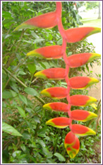 Lobster Claw (Heliconia Rostrata)